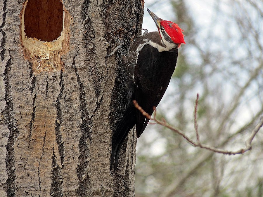 PILEATED WOODPECKER by Gary Colwell - Animals Birds ( pileated,  )