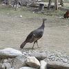 Wild Turkey (Female)