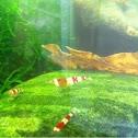 Red crystal shrimp