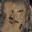 Ants w/ larva