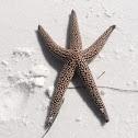 Spiny Sea Star