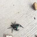 Daring Jumping Spider