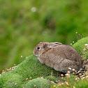 Conejo (European rabbit)