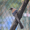 樹鵲 / Grey Treepie