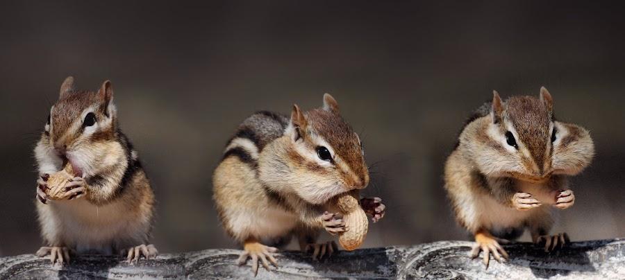 Three Peanuts by Liz Crono - Animals Other Mammals ( peanuts, animals, three, chipmunks )