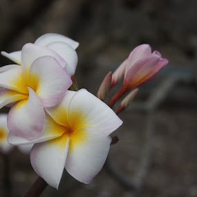 Plumeria by Aaron Gould - Flowers Tree Blossoms ( plumeria, blossom, flower )