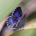 Peninsula blue