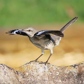 Air Dried by Andy Bond - Animals Birds ( bird, wings, wildlife, birds, mockingbird )