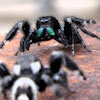 Red-Backed & Daring Jumping Spiders