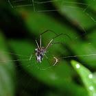 Black Orchard Spider