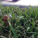Mower's Mushroom
