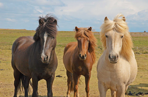 Interact with Icelandic horses at a traditional Icelandic farm near Husavik, Iceland, on your Lindblad Expeditions adventure.
