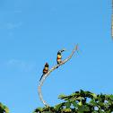 Chesnut-eared Aracari