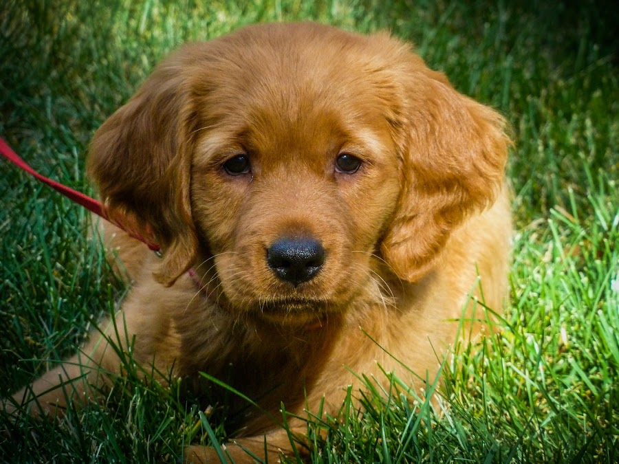 Curious Pup by Cody Klatt - Animals - Dogs Puppies ( playing, fluffy, curious, summer, puppy, dog, cute, #GARYFONGPETS, #SHOWUSYOURPETS )