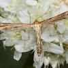 Plume moth; Polilla pluma