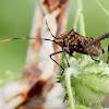 Passion-vine bug