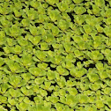Water Cabbage / Lettuce