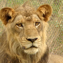 The Indian Lion
