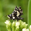 Mournful Thyris Moth