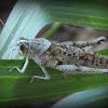 Rusty Bird Grasshopper