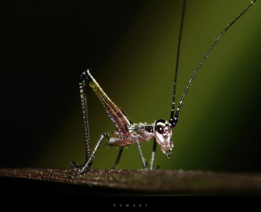Longhorned Grasshopper Nymph