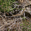 Lizard/Muurhagedis