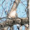 Tourterelle triste  Zenaida macroura - Mourning Dove