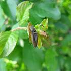 Rotbauchiger Laubschnellkäfer / Click beetle