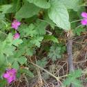 Purple Wild Geranium