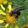 Vespa social (Social Wasp)