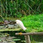 Garceta Blanca / White Egret