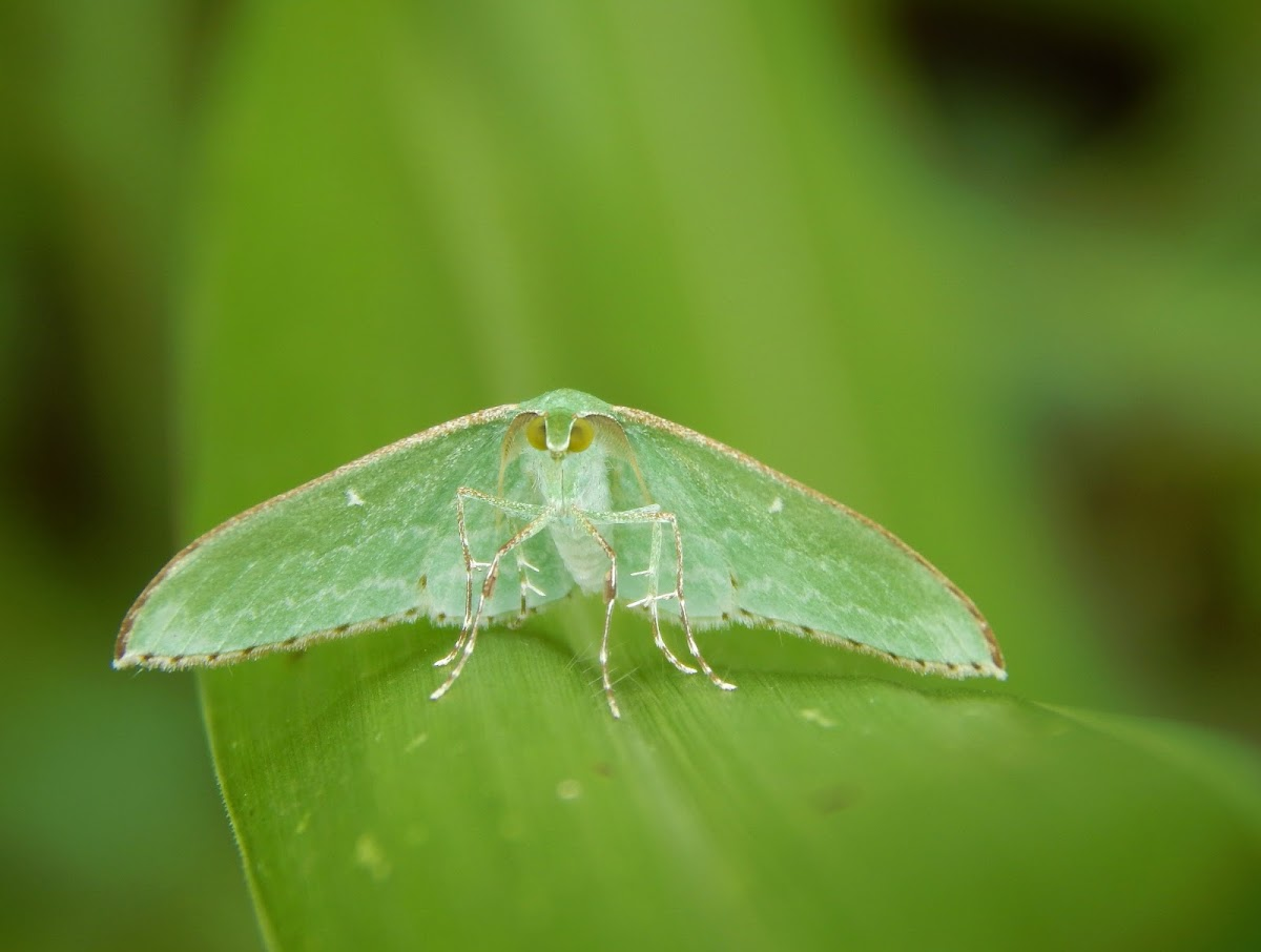 Dyspteris Moth