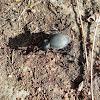 Carabus Greek Beetle