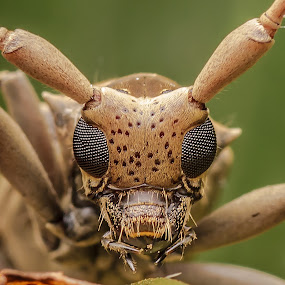 Long Horn Beetle by Jali Razali - Animals Insects & Spiders (  )