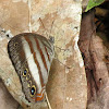 White banded satyr