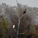 Cormorants  & Great White Egret