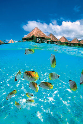 tropical_fish_Moana_Bora_Bora - Step into a brilliantly colored lagoon during a visit to the InterContinental Le Moana Resort as part of a Paul Gauguin cruise.