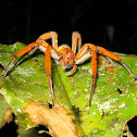Spot-legged Banana Spider