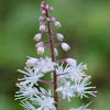 Common Foamflower