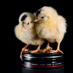 Chickens and lens by Mohamed Mahdy - Animals Birds ( chicken, canon, chick, still life, still, chickens, nikon, chickens and lens, lens, , camera, object )