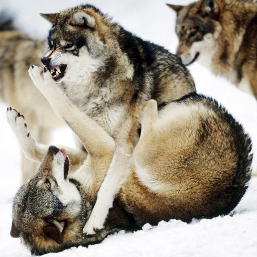 Вовки Живі Шпалери