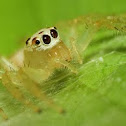 Female Two-Striped Jumping Spider