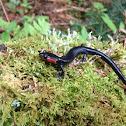 Red cheeked salamander