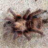 Texas Tan Tarantula