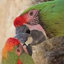 Perroquets Ara