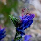 blueweed; viborera