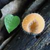 Hairy Cup Fungus