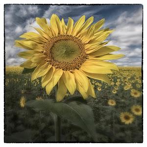 Maryland_DSC4949_Sunflower_12x12.jpg