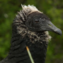 Black vulture (juv)