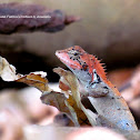 Roux's Forest Lizard